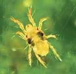 spider mite4